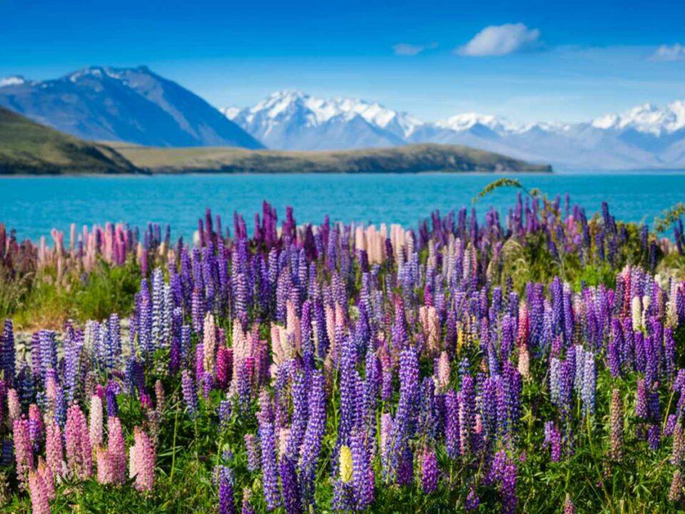 Bergsee mit blühenden Lupinen