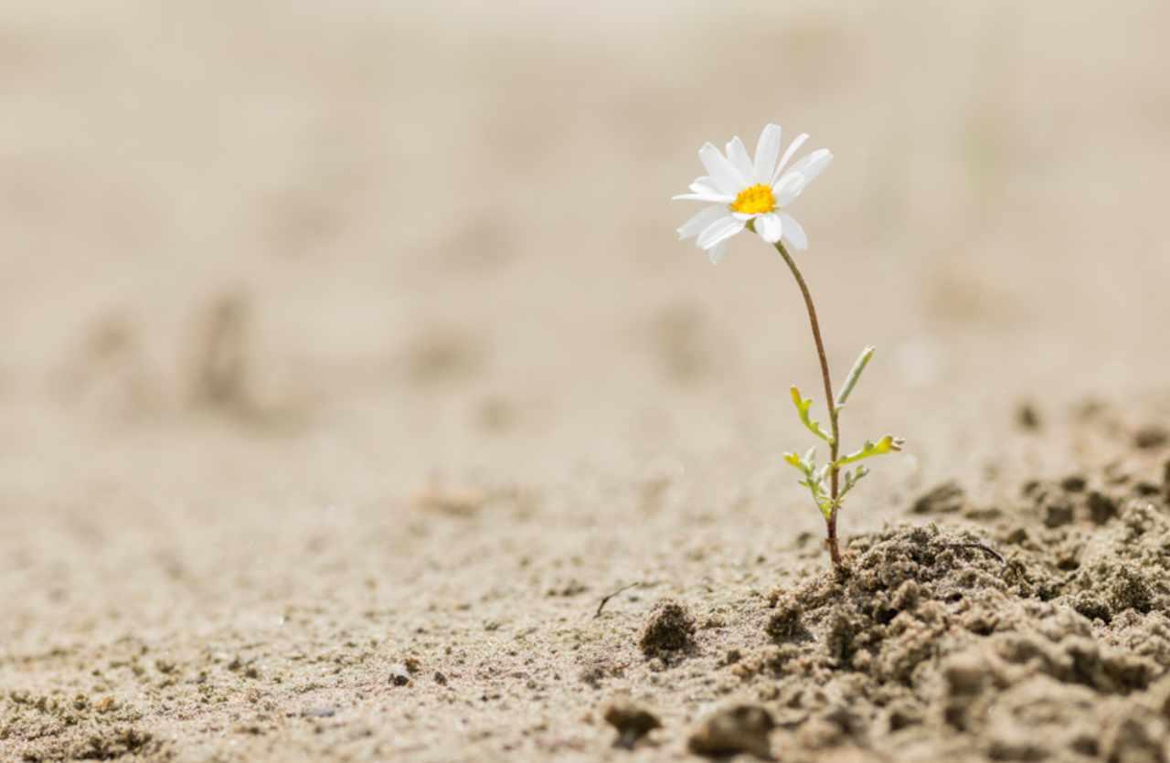 Blume blüht in Wüste