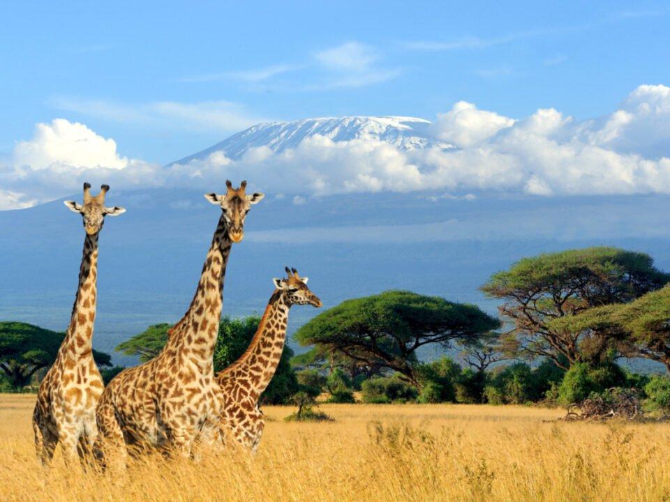 Giraffen in einer Steppe